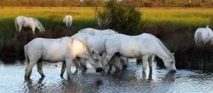 Le « Camargue », cheval rustique